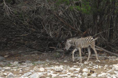 Baby zebra!